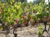 Dryness of the vine