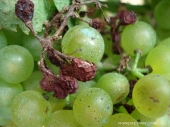 Downy mildew on grapes