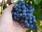 Carone Wines Vineyards: Grape harvest for Cabernet Severnyi variety