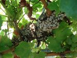 Snails prefer to eat the young leaves. The decrease in photosynthesis causes a reduction in quality. Chardonnay here.