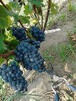 Grapes harvest of Pinot noir