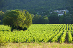 Vineyard for wine tourism