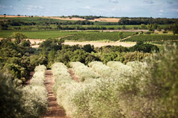 Vines and olive trees for wine tourism