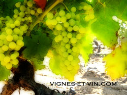 Grape of Ugni blanc